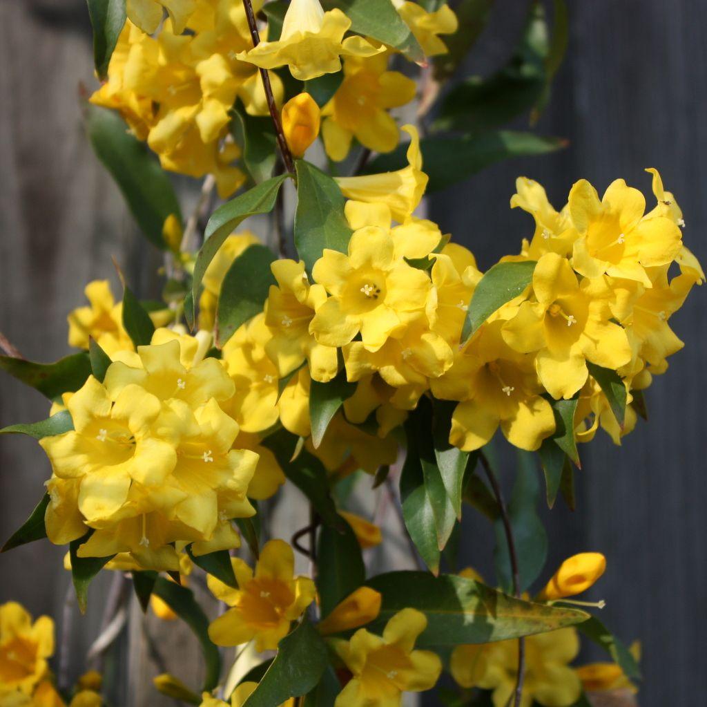 Yellow jasmine poisonous plant httpbotanicalbotanical yellow jasmine poisonous plant httpbotanicalbotanical izmirmasajfo Images