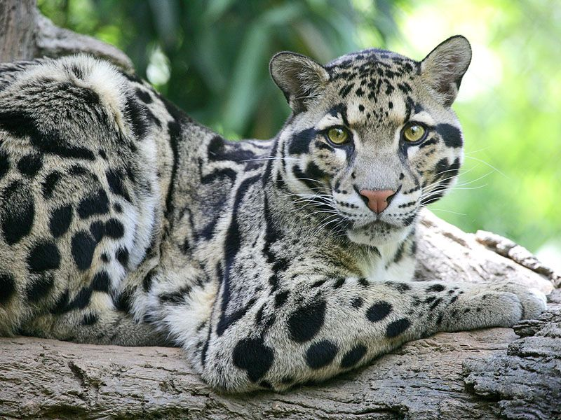 Clouded Leopard, Nashville Zoo at Grassmere, Nashville, Tennesse | Clouded leopard, Wild cats, Animals wild