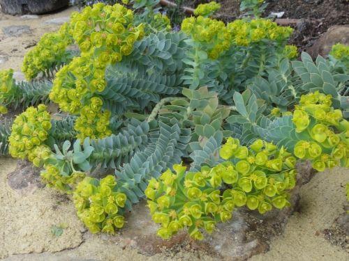 robuste et très ornementales Euphorbia myrsinites Myrtle Euphorbe 10 Graines