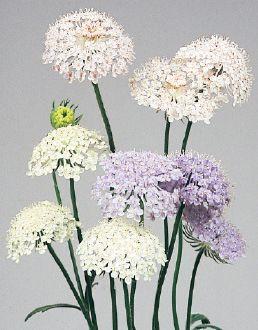 Flower Plants Seeds Miyoshi Products 花