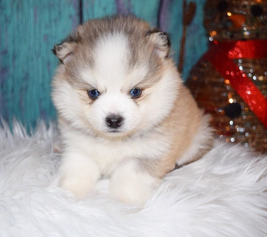 Pomsky Puppies For Sale Decatur Il Pomsky Puppies Pomsky