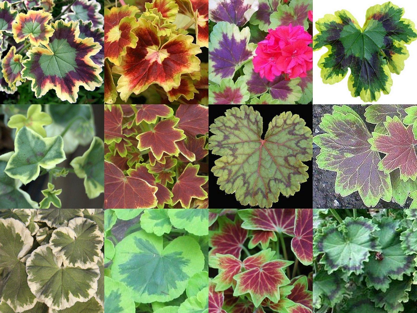 пятна герань с красными листьями фото и название терехова последнее время