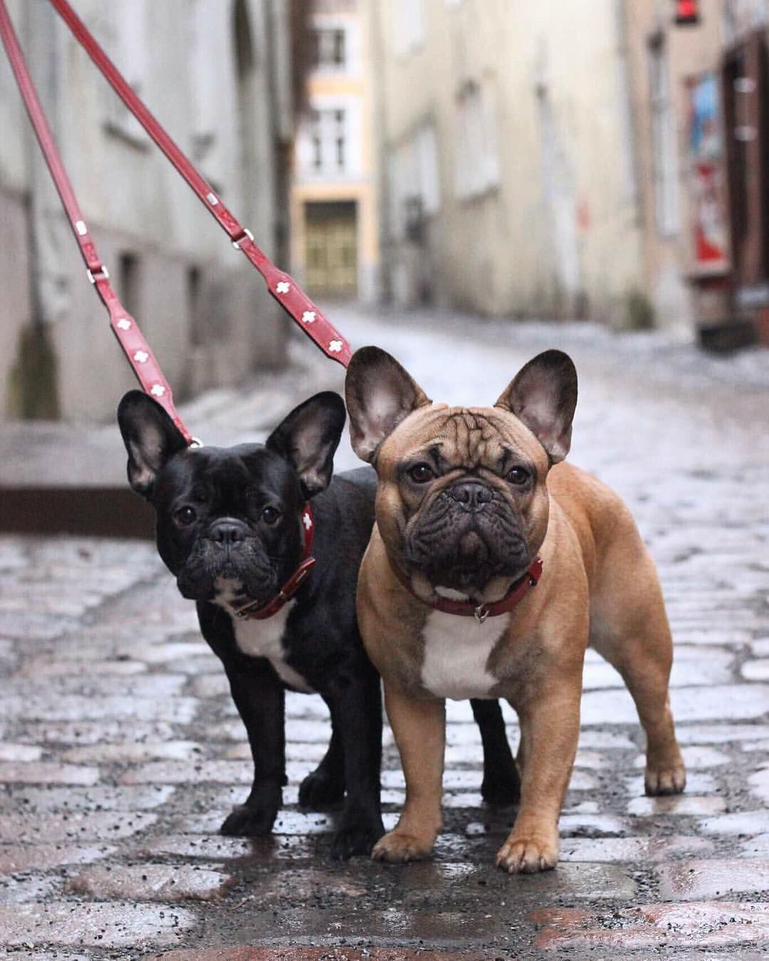 The French Bulldog Is So Famous But Why French Bulldog Puppies Bulldog Puppies