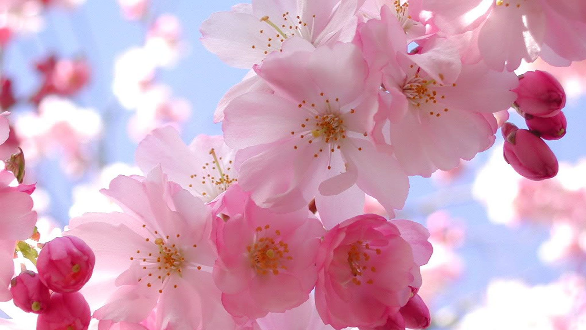 Expanse Of Cherry Blossoms In Japan Pink Blossom Flower Pictures Blossom Flower