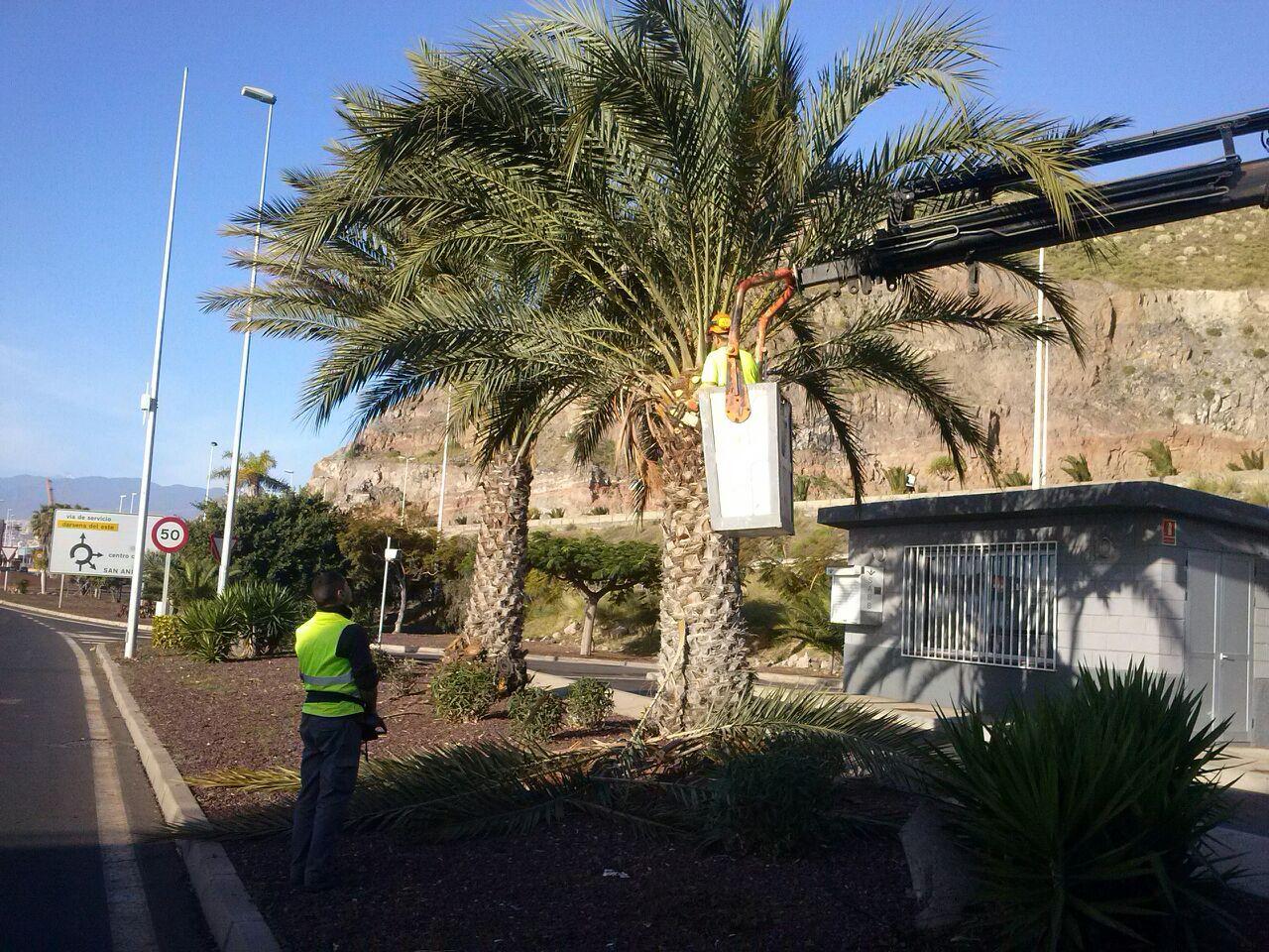 Poda de palmera Phoenix dactylefera