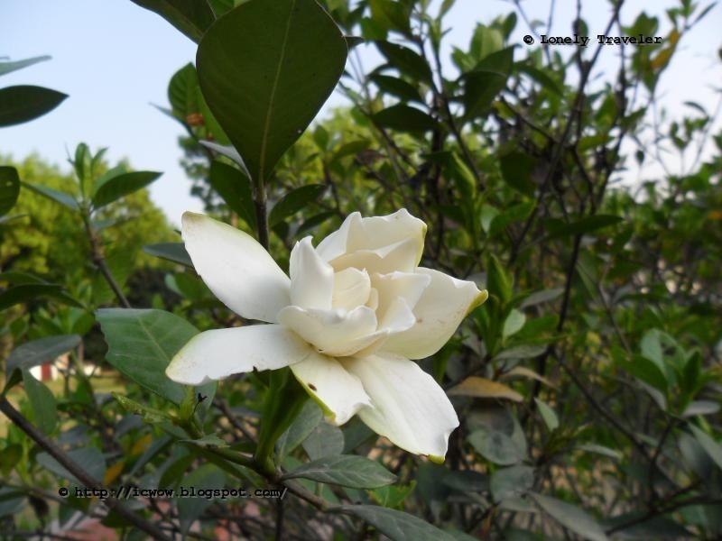 Gondhoraj Gardenia Jasminoides Gardenia Planting Flowers Sweet Fragrances