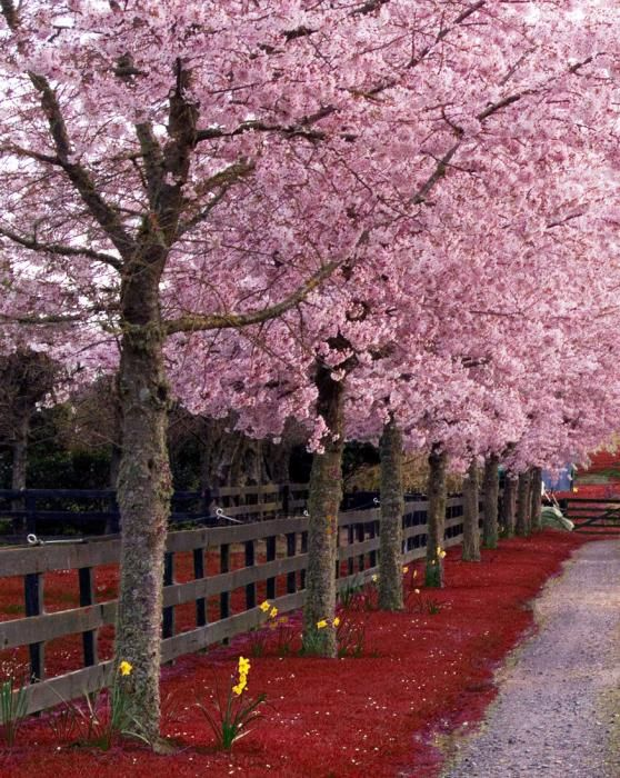Pink Color Photo Pink Trees Pink Trees Beautiful Tree Blossom Trees