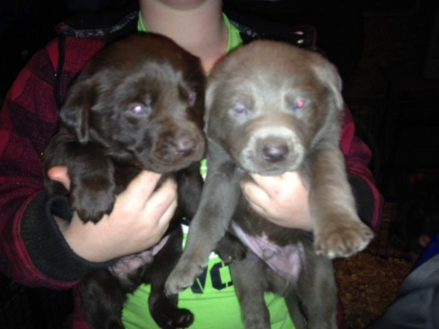 Litter Of 9 Labrador Retriever Puppies For Sale In Olympia Wa