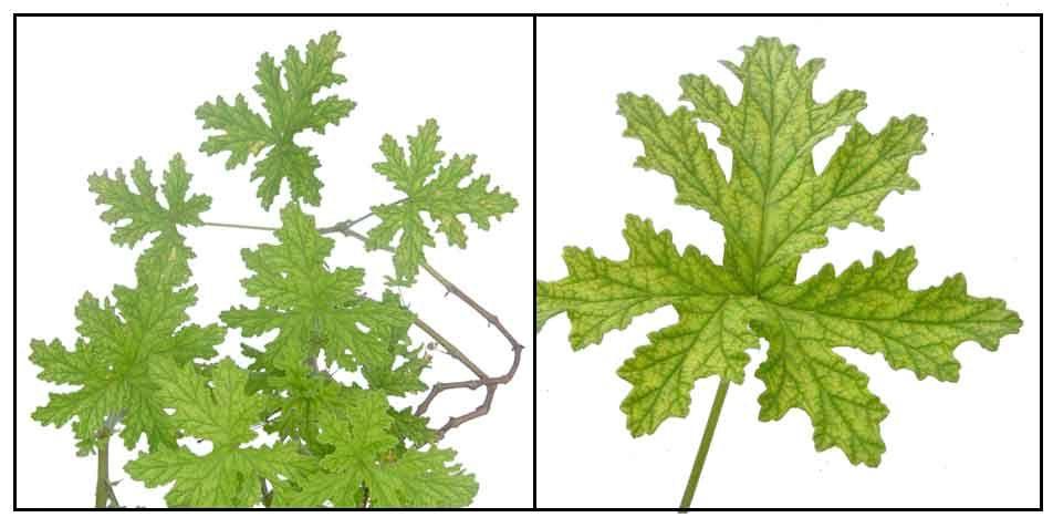 Pin On Plantas Medicinales Yaromaticas
