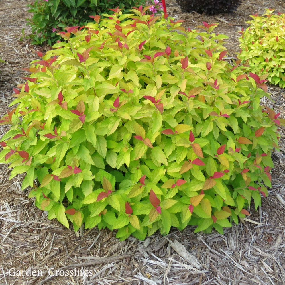 Spiraea Double Play Candy Corn Buy Spiraea Shrubs Online