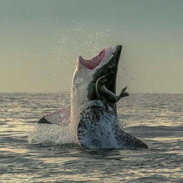 Fotos mostram momento de sorte em que foca escapa de tubarão