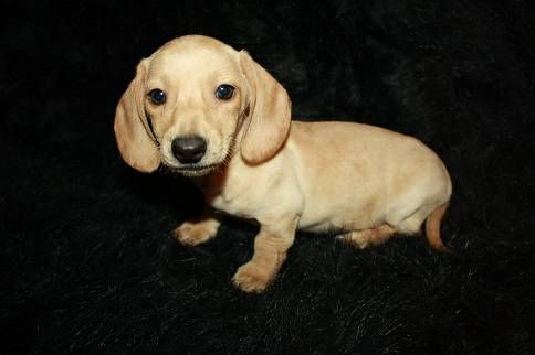 Blonde Short Haired Dachshund Puppy Omg 3 Short Haired