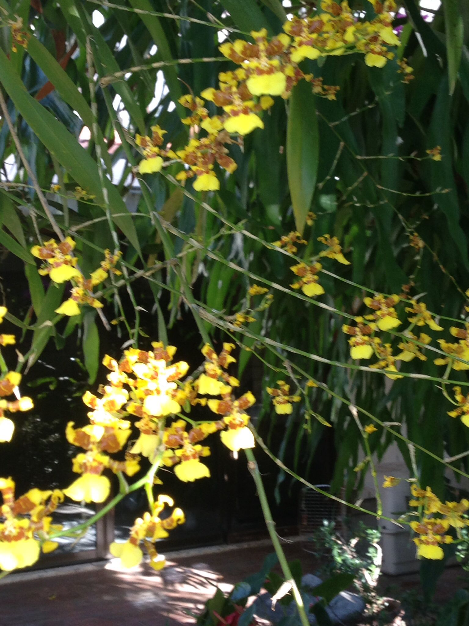 La Oncidium sphacelatum Lindl. es una especie de orquídea epifita ...