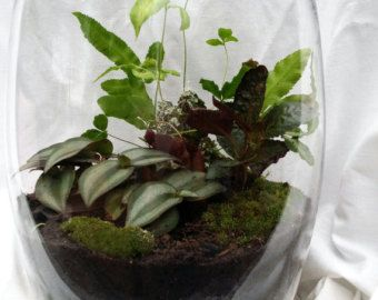 mosser moss terrarium | ... Plant Fern and Moss Glass Vase Terrarium - local pickup/delivery only