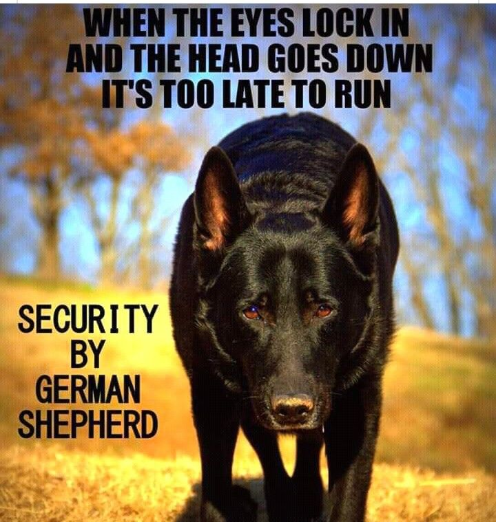 The German Shepherd German Shepherd Funny German Shepherd Quotes German Shepherd Dogs