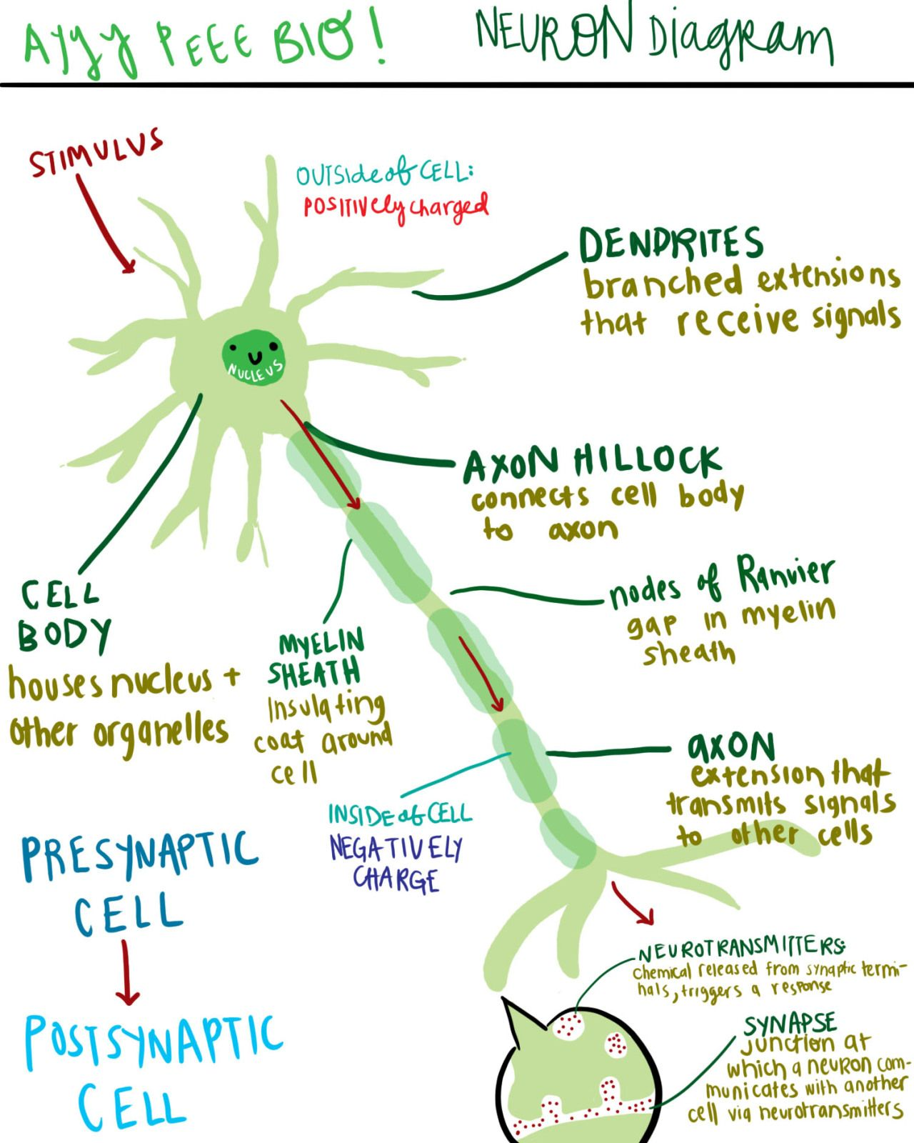Astudyinchartreuse a diagram of a neuron and its functions astudyinchartreuse a diagram of a neuron and its functions again review from last year a drawing of a neuron ccuart Images
