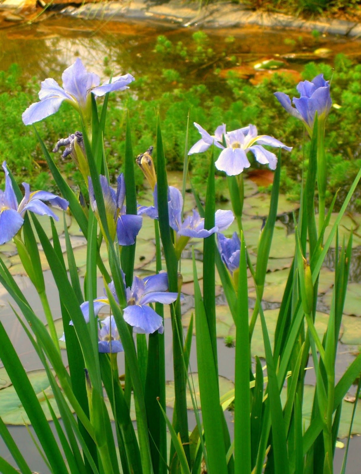 Flag Iris Tall With Spiky Leaves Flowers In Many Colours Blue