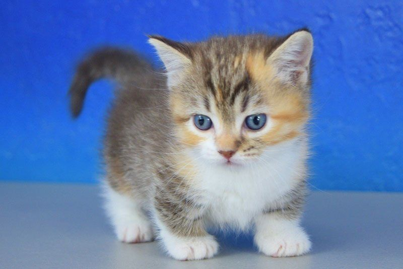 Fancy Chocolate Calico Mitted Lynx Solid Female Teacup