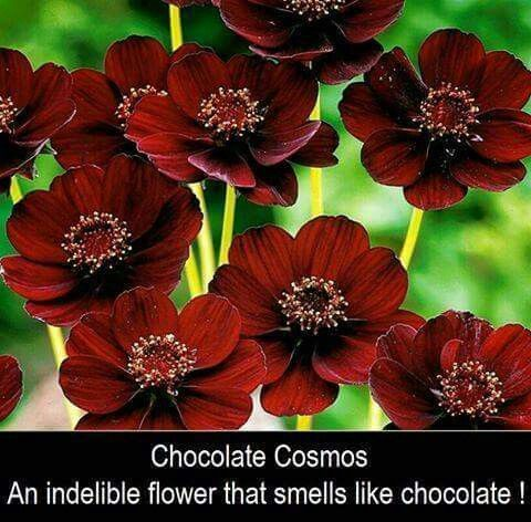 Pin By Scott Hanna On Gardening Horticulture Cosmos Flowers Chocolate Cosmos Flower Chocolate Cosmos