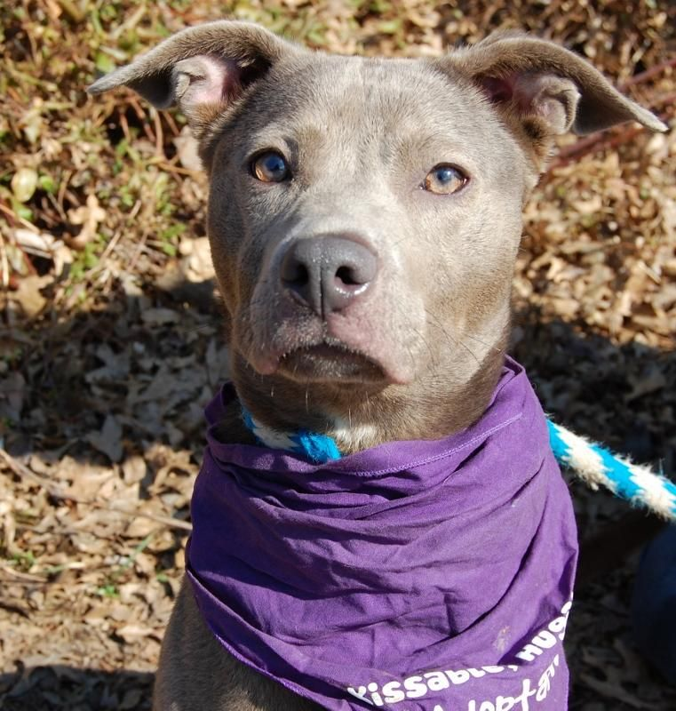 Talon is an energenic 1-yr-old Weimaraner mix! She loves to spend time outside where she can run and play. While our kennel staff is working on some basic training, Talon could benefit from some obedience classes in the future. She would prefer a...