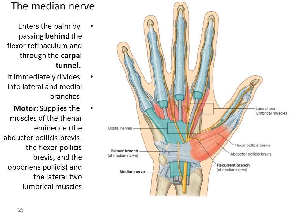 Median Nerve Motor Supply Hand Md Stuff Pinterest Median Nerve
