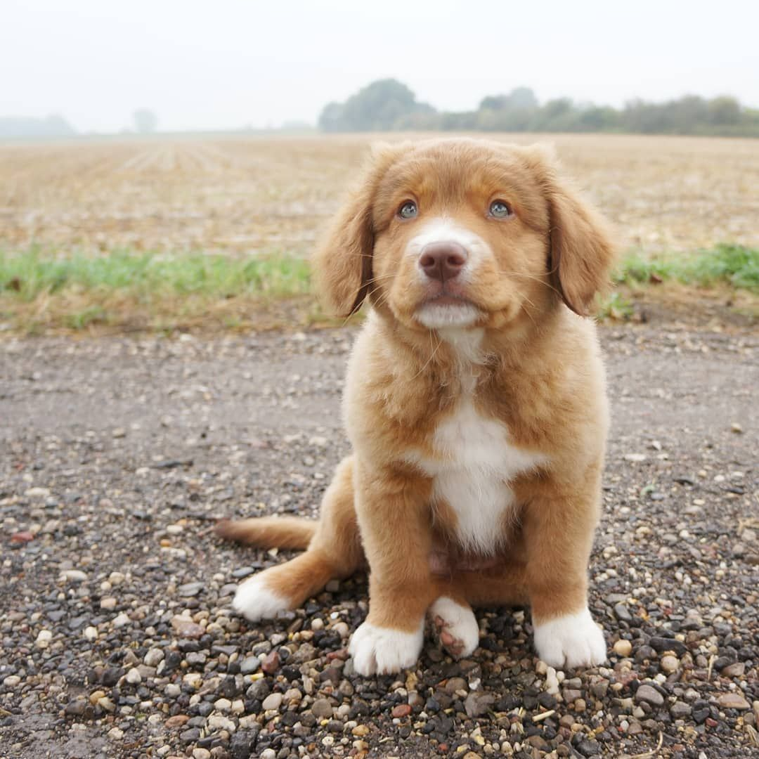 How Adorable Is This Puppies Are So Cute Toller Puppies Are