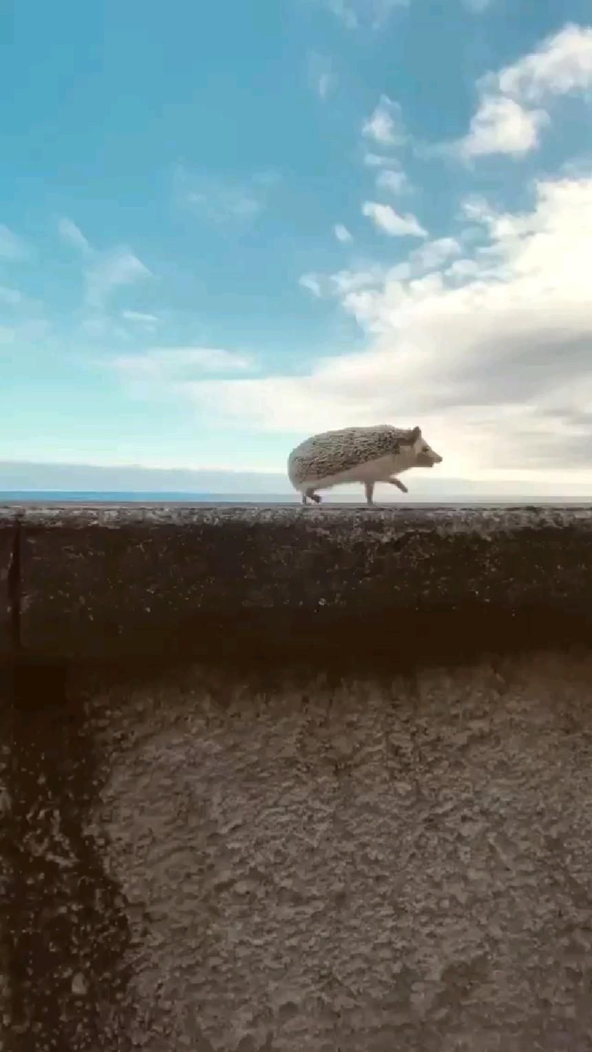 27+ Hedgehog
