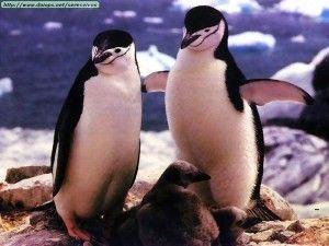 Pingüinos En Peligro De Extinción En Peligro De Extincion Extincion Pingüinos