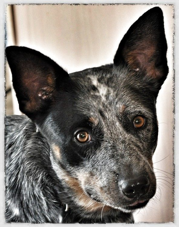 Zip From Last Of The Dogmen Australian Cattle Dog Cattle Dog Spotted Dog