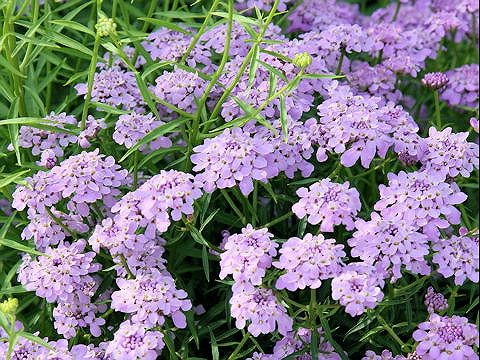 List Of Spring Flowers That Are Perennials Pink Perennials Perennials Full Sun Perennial Flowers