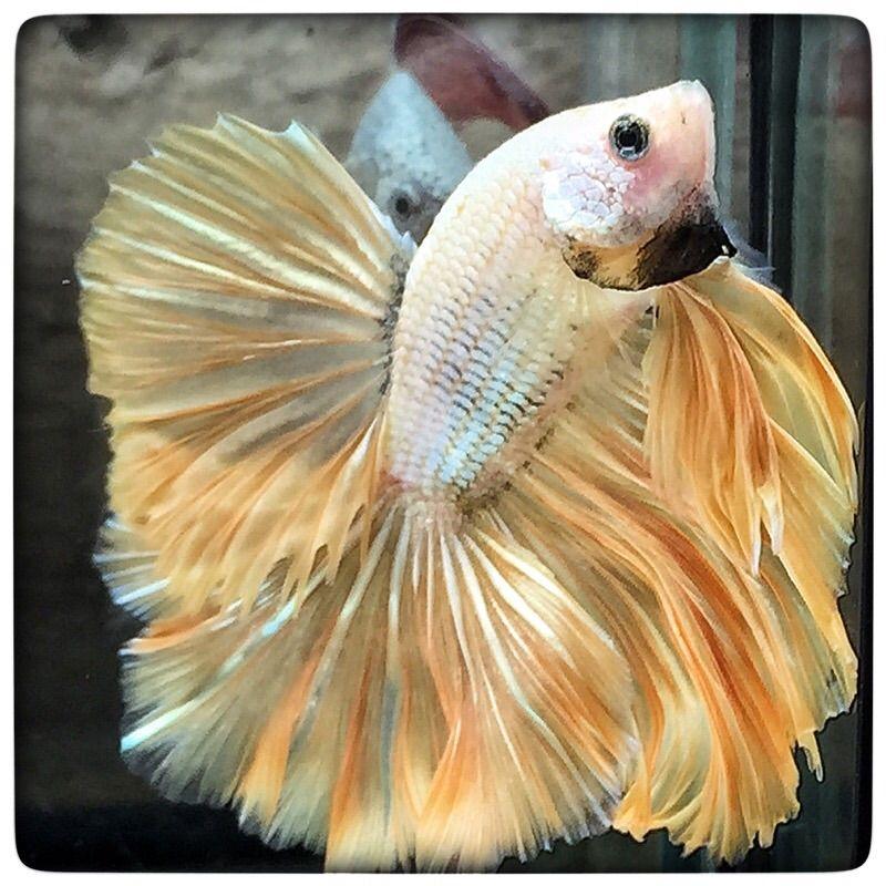 AquaBid.com - Warrior gold (1488)