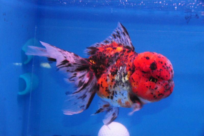 Kirin Oranda Dandyorandas Com Goldfish Art Goldfish Fish Pet