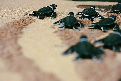 Sea Turtles.
