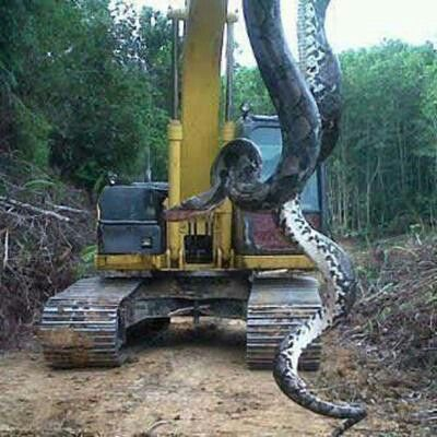 700 pound 98 feet giant snake in Proctor, North Carolina. U decide real or not.