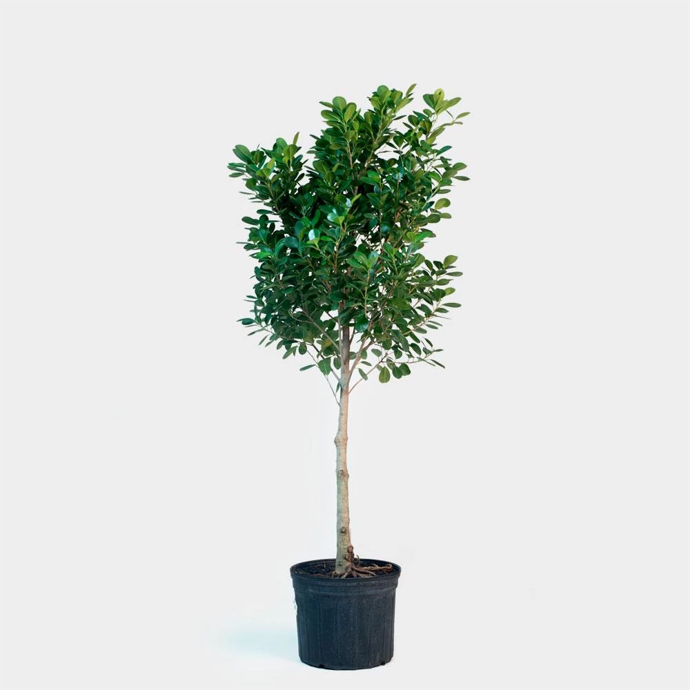 Greenery Unlimited Ficus Moclame Care (With images
