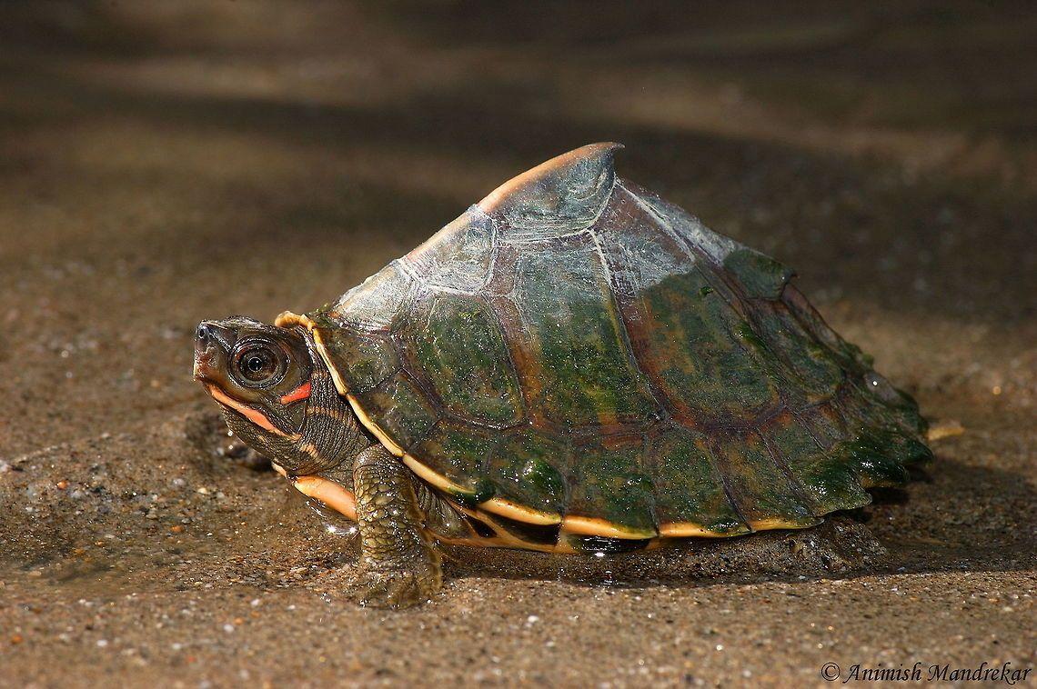 Assam Roofed Turtle Pangshura Sylhetensis Assam Roofed