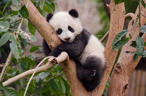 Baby panda in tree #babypandas