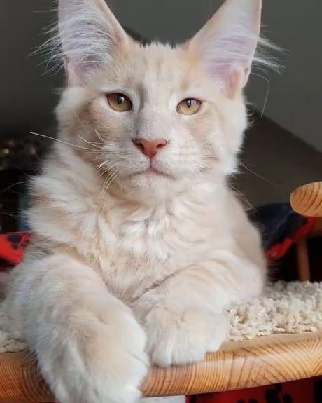 Majestic guy #catbreeds