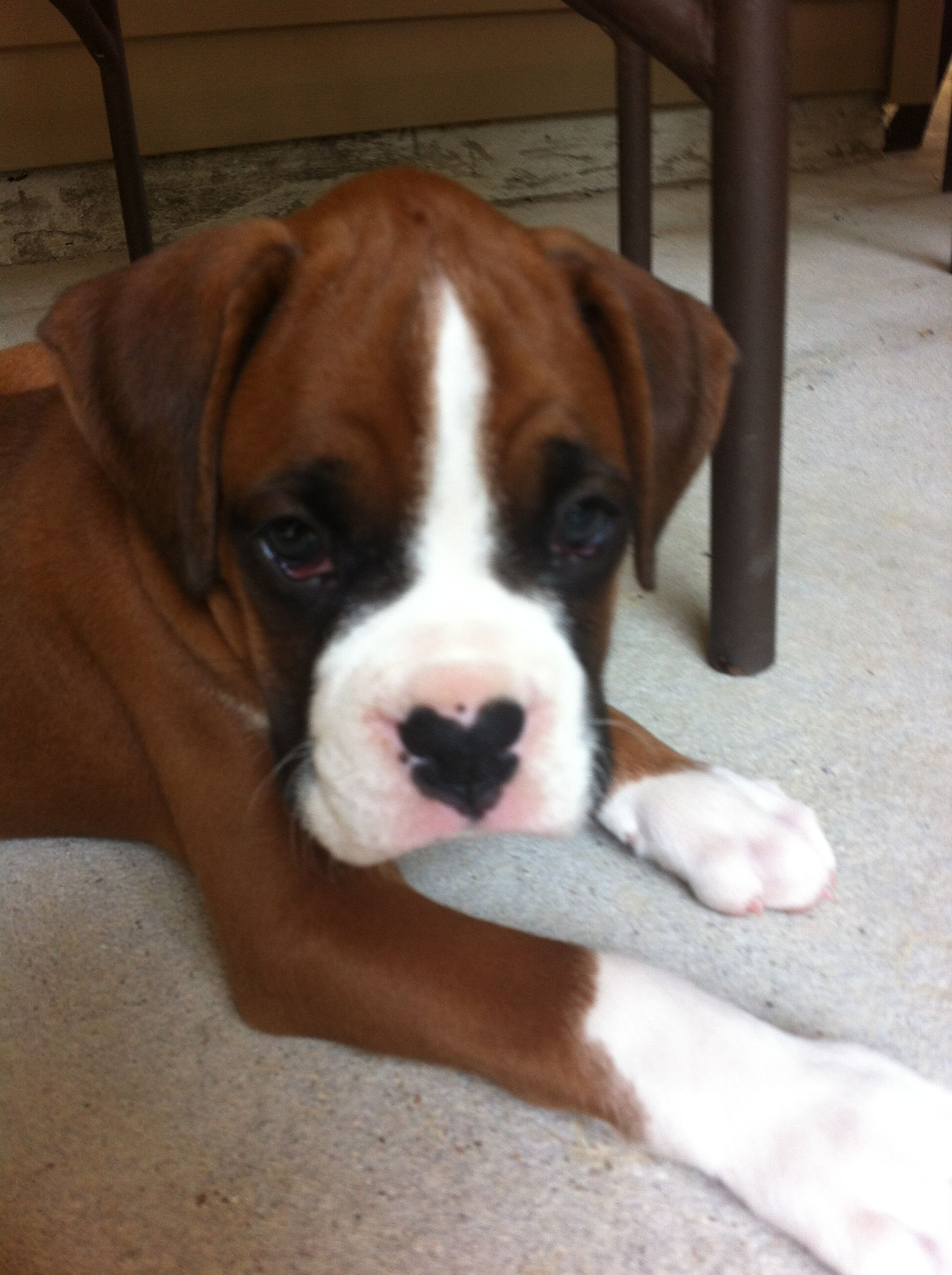 Boxer Puppy With Heart Nose Boxer Puppies Boxer Dogs Dog Nose
