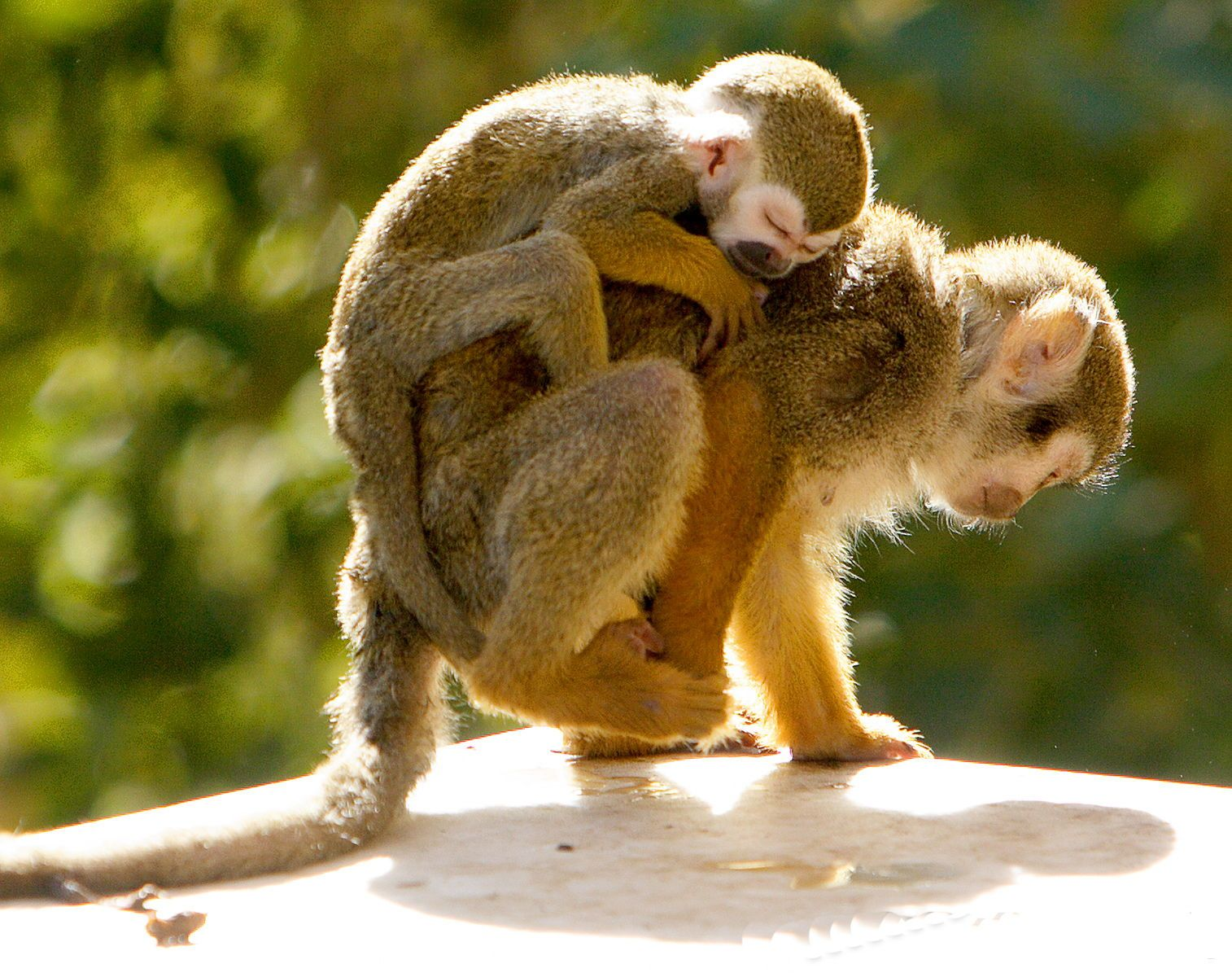 Monkey wallpapers free download best wild animals hd - Best animal wallpaper download ...