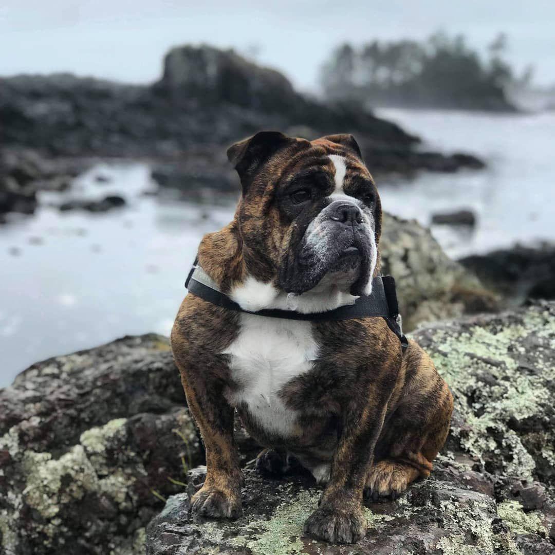 Enjoying My New West Coast Home Ukeedog Bulldog Englishbulldog Explorebc Westcoast Bulldog Puppies Bulldog Dog Breeds