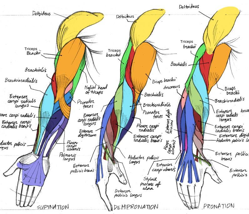 Human anatomy arm muscles