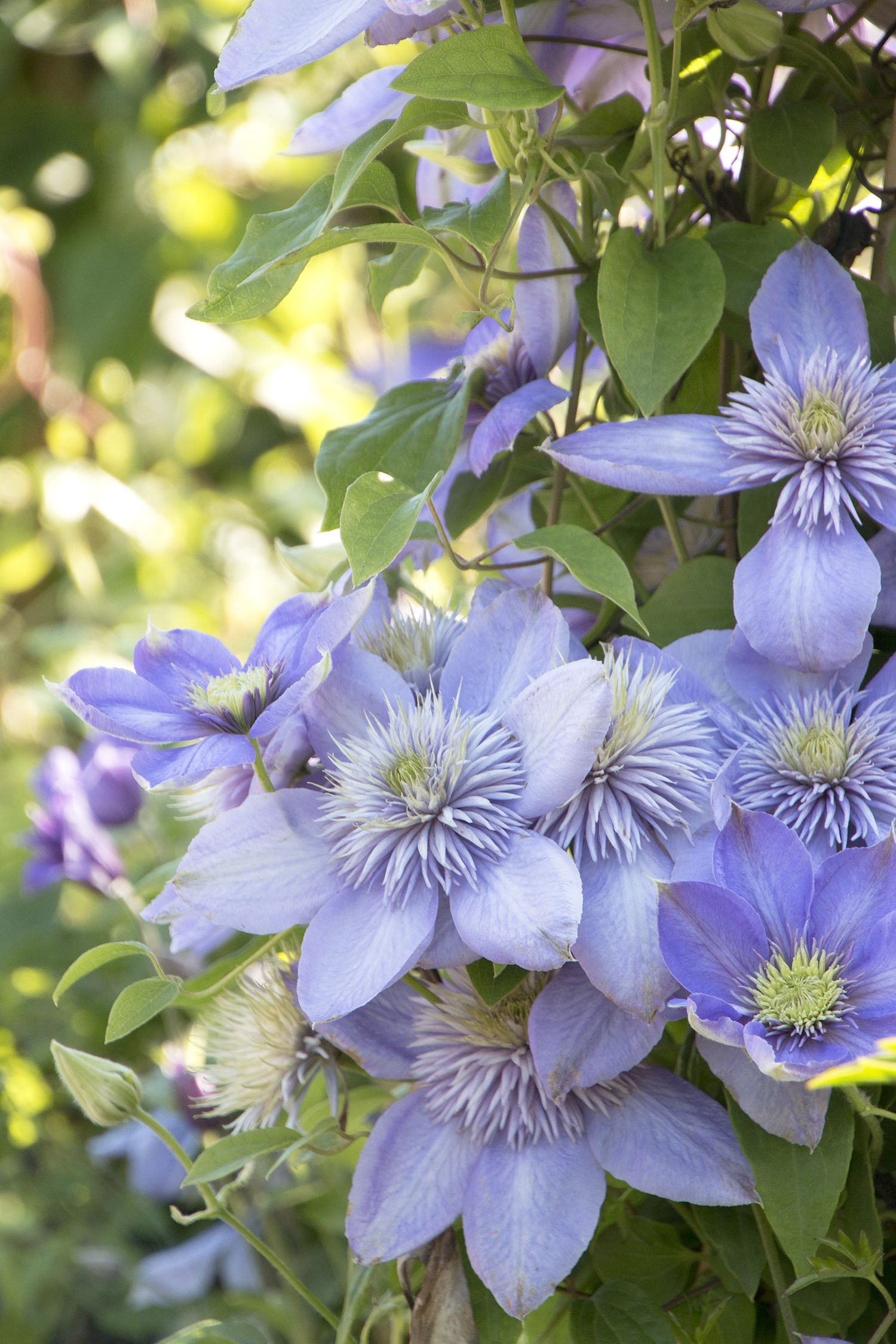 Blue Light Clematis Is An Award Winning Sport Of Mrs Cholmondeley Clematis Produces Loads Of Distinctive Blue Flower Garden Plans Clematis Container Flowers