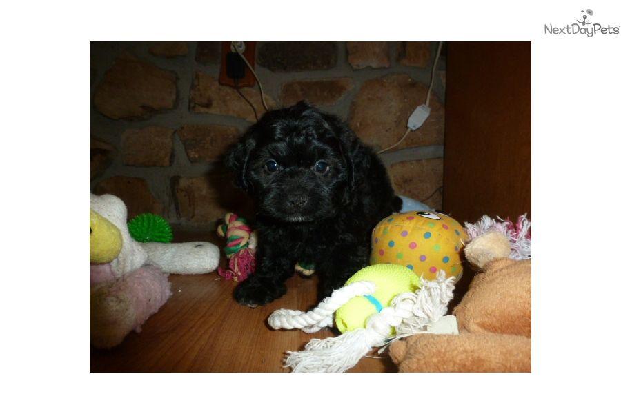Malti Poo Maltipoo Puppy For Sale Near Cincinnati Ohio
