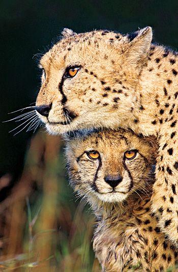 African Cheetah and Cub. Phinda, KwaZulu-Natal, South Africa © Richard Rothstein
