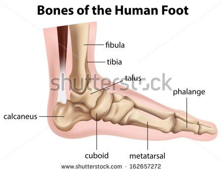 Skeletal Anatomy Of Human Foot Yahoo Image Search Results Fall