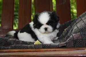 Black White Imperial Shih Tzu Puppies Cute Animals Shih Tzu