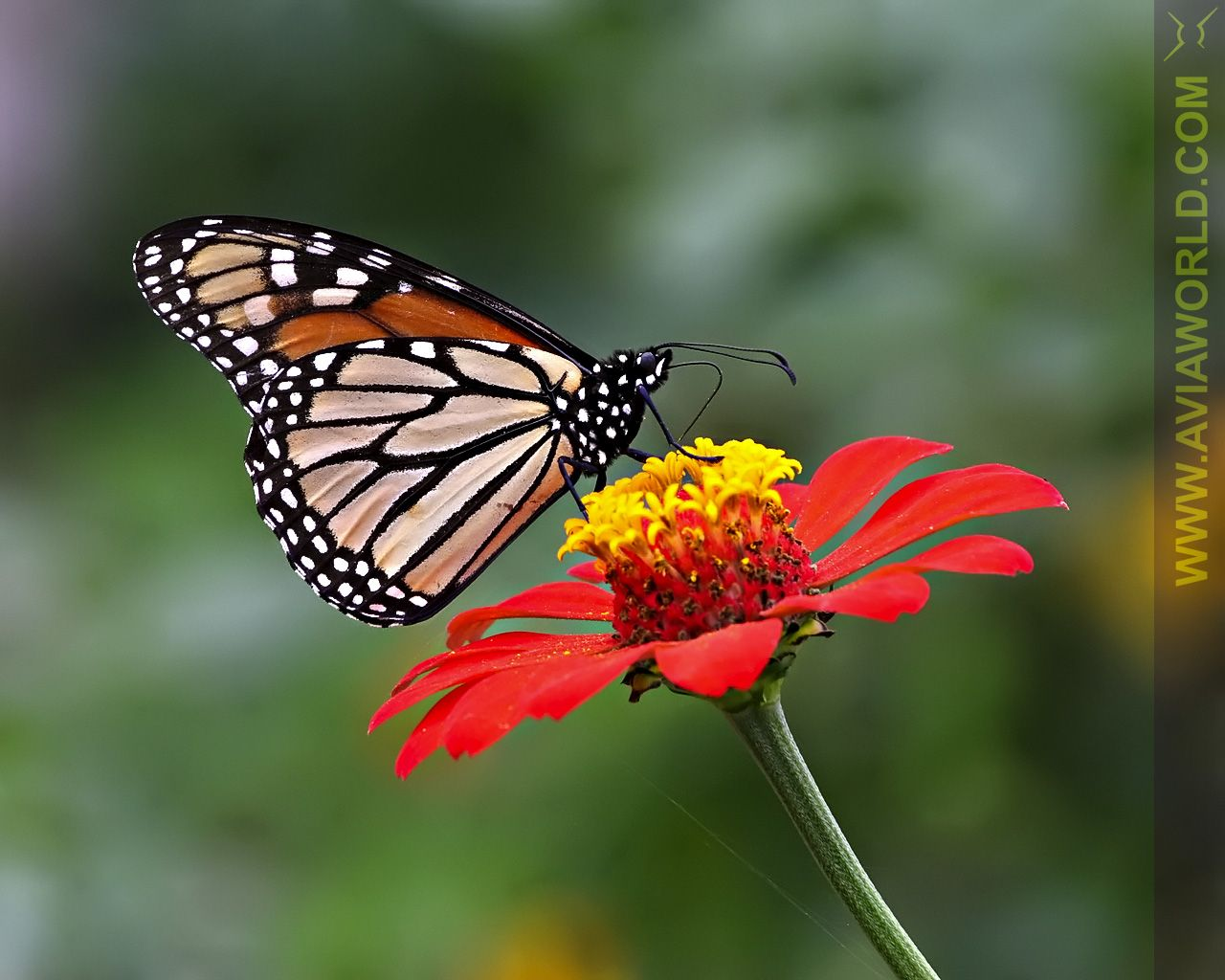Butterfly Butterfly Wallpaper 1280 X 1024 Rightclick To