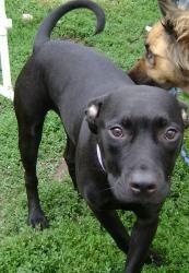 Adopt Mason On Puppy Mix Pitbull Terrier Bull Terrier Dog