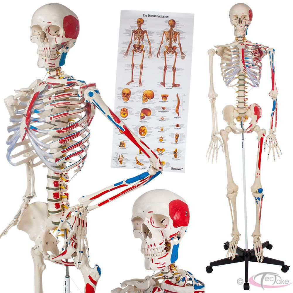 Human Skeleton Anatomical Model Teaching Muscles And Bones Painting